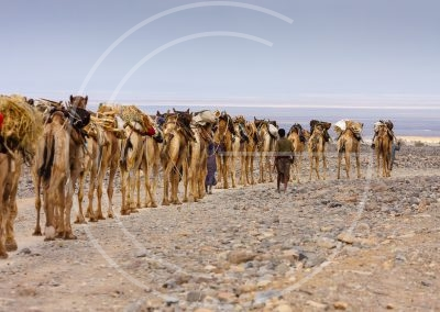 Salt carried by camels to the city 3