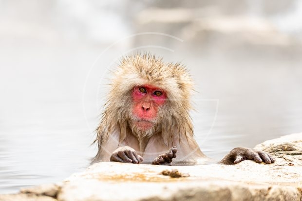 Japanese macaque at Jigokudani hotspring